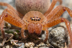 Huntsman spider (Tindo2 - Tim Rudman) Tags: huntsman spider neosparassusdiana neosparassus badgehuntsman