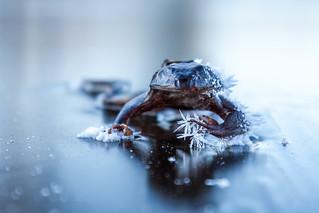 Frozen Frog III