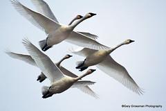 Let Your Spirit Sail (Gary Grossman) Tags: love flight swans tribute eternity soar flyaway spiritsail