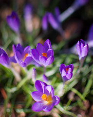 365/41 Smells like spring (Anna Remus) Tags: flowers crocus project365
