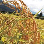 小池農園稲