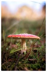 aminita…    Breadsall (Mon!Chrome) Tags: red woods fungi aminita breadsall