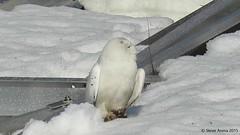 Snowy Owl (Bubo scandiacus) (Steve Arena) Tags: snow raptor owl snowyowl irruption buboscandiacus irruptive