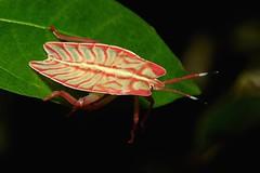 Tessaratomid Giant Shield Bug Nymph (Tessaratomidae) (John Horstman (itchydogimages, SINOBUG)) Tags: insect macro china yunnan itchydogimages sinobug bug nymph hemiptera shield stink tessaratomidae black true red entomology