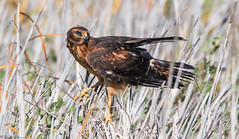 Northern Harrier (trinstanprep) Tags: california sky cloud lake bird sports water animal america forest canon butterfly landscape photography bay waterfall high raw zoom bokeh outdoor wildlife awesome great birding parks insects sharp clear telephoto castro american valley owl area shutter resolution serene manual adventures northern tamron kestrel lenses harrier songbird horned chabot ake autofocus cmos 70d 150600mm