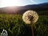 Fiore nel sole della Majella - Abruzzo - Italy