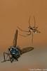 Linyphia triangularis (Clerck, 1757) (Luís Gaifém) Tags: macro spider natureza spinne araña pók spindel araignée ragno aranha voras fão pająk edderkop паук hämähäkki クモ αράχνη павук örümcek עכביש 거미 kónguló ämblik zirneklis commonhammockweaver luísgaifém pnlitoralnorte
