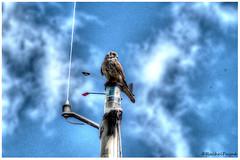thought it was called a 'crows nest'??? (rachelpayne72) Tags: haven bird seaside ship raptor mast kestrel titchfield