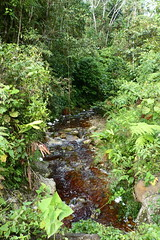 Streamside forest opposite Yankuam lodge P1030737 (Andrew Neild, UK) Tags: ecuador nangaritza river yankuam lodge forested stream mariposas borboletas papillons schmetterlinge farfalle 蝶 蝴蝶 бабочки तितलियों