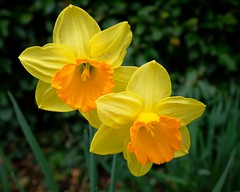 * Daffodils, close up​ (velodenz) Tags: daffodils​ closeup yellow orange flower daffodil narcissus garden bloom velodenz fujifilm x100f england united kingdom uk great britain gb digital fujiusers image pic picture phot photo photograph photography views interesting top20 toptwenty top twenty 20 2000views 2000
