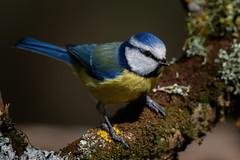 _F0A6116.jpg (Kico Lopez) Tags: cyanistescaeruleus galicia herrerillocomún lugo miño spain aves birds feeder rio