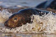 Grey seal (Javier Vecino) Tags: donnanook