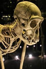 IMG_0579 (jaybluejeans94) Tags: manchester manchestermuseum museum animal animals skeleton uk architecture reptile reptiles bones lizard chamelion dinosaur nature