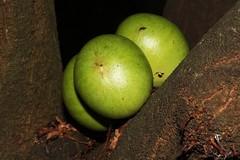 Phaleria clerodendron (andreas lambrianides) Tags: drymyspermum clerodendron thymelaeaceae phaleria scentedphaleria apple rosy scenteddaphne rosyapple australian ntrfp qrfp rainforestfruits tropicalarf lowlandarf uplandarf phaleriaclerodendron australianflora australiannativeplant australianrainforests australianrainforesttrees australianrainforestfruitsandseeds australianrainforestfruits australianrainforestseeds greenarffs