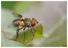 La mouche - The fly (isabelle.bienfait) Tags: isabellebienfait mouche insecte fly macro raynox250 fliegen letya mosca volare sinek voar zbura bay ectophasiacrassipennis phasiecrassipenne bonnetteraynox panasonicfz28