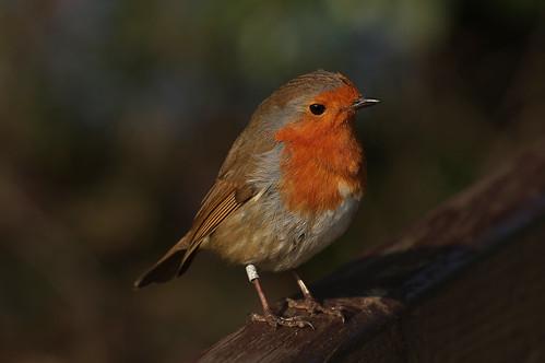 IMGP2207d Robin; Rye Meads, February 2017