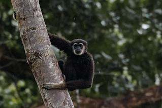 White-handed Gibbon | Hylobates lar | Ungka Tangan Putih