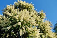 'Ivory Curls' - Buckinghamia celsissima (Tatters ❀) Tags: australia qld buckinghamiacelsissima buckinghamia proteaceae whitearfflowers whiteflowers creamflowers arfp qrfp tropicalarf arfflowers ivorycurlflower