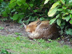 Sleep sleep (fbako) Tags: animal sleep fox inthegarden