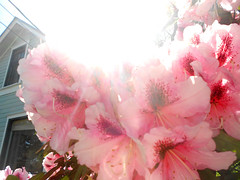 Sun through the Rhodies (Sotosoroto) Tags: seattle washington rhododendron ballard
