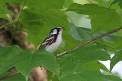 Chestnut-sided Warbler - Setophaga pensylvanica - Hamilton County, Ohio, USA - May 20, 2013 (mango verde) Tags: ohio usa bird yard migration warbler migrant hamiltoncounty pensylvanica parulidae chestnutsided setophaga newworldwarblers chestnutsidedwarblersetophagapensylvanica