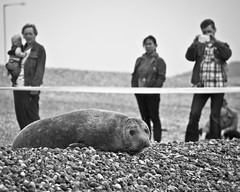 'Trevor' the Seaford Seal (SPIngram) Tags: uk blackandwhite bw cute celebrity beach nature animal mammal sussex wildlife pebble seal british seafront seaford simoningram spingram nikond300safsdx55200mmf456gedvr