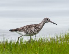 Willet - 1 (krisinct) Tags: bird beach nikon tokina tc 300 tamron f28 willet d300 14x