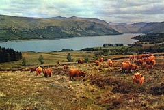 Arg-3503 Highland-Cattle-by-Loch-Fyne (bellrockman2011) Tags: mountains skye islands argyll wildlife lewis adventure climbing beaches iona harris ferries munros staffa argyllshire hillwalking invernessshire st highlands outer isle scottish kilda hebrides skye