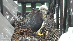 young hawk2 (Cornell Lab of Ornithology) Tags: bird nest cams cornell redtailedhawk nestlings labofornithology cornelllabofornithology