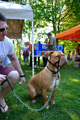 Bree (makingacross) Tags: park home dogs manchester sponsored walk annual doguedebordeaux debdale manchesterdogshome