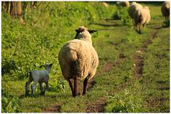 Springtime (10) (H. Bos) Tags: haven nature grass animal sheep natuur lamb gras lente sheeps dier lam springtime almere schapen schaap lammetje littlelamb waterlandsebos