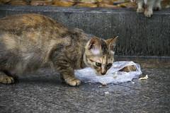 IMG_3504-1 (cnseikaiye) Tags: cat cats feral catstray