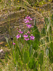 Calopogon tuberosus (Common Grass-pink orchid) (jimf_29605) Tags: orchids southcarolina olympus fieldtrip wildflowers zuiko e5 zd calopogontuberosus heritagepreserve greenvillecounty 1260mm sitec evachandlerheritagepreserve commongrasspinkorchid