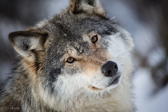 Am I not adorable?! (CecilieSonstebyPhotography) Tags: wild portrait closeup canon nose eyes wolf wolves langedrag ef100400mmf4556lisusm wildwolf naturethroughthelens