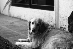 Distraccin (altmmar89) Tags: bw dogs animal animals goldenretriever canon olhar bn perro mirar perros animales cachorros caninos distraccion 60d