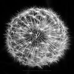 Dandelion (martin fredholm) Tags: bw nature monochrome closeup head symmetry dandelion seeds sphere grayscale