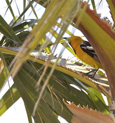 Hooded Oriole m.