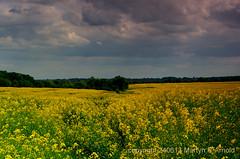 Yellow Oil Seed Crops (Martyn (Northants/North East)) Tags: field yellow landscape crop growing oilseedrape