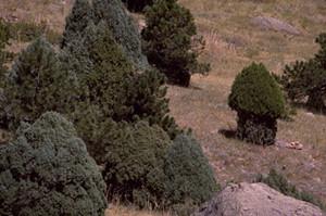 Photo - Rocky Mountain Juniper