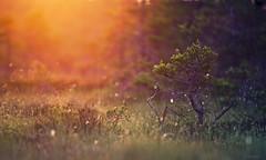 Stunted Pine (Jyrki Salmi) Tags: park morning pine sunrise nikon 300mm national swamp nikkor f28 jyrki d600 salmi valkmusa