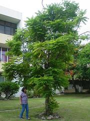 Vinagrillo IV (Karen Blix) Tags: bellavista santodomingo oxalidaceae vinagrillo averrhoa averrhoabilimbi pepinito