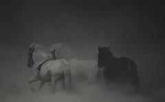 Galloping (Sverrir Thorolfsson) Tags: horses horse iceland naturepoetry sverrirthorolfsson