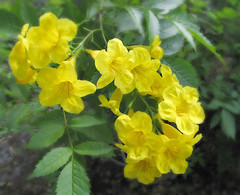 Yellow Flowers (Colorado Sands) Tags: flowers usa plant flores flower floral fleur yellow america fleurs us flora florida blossom flor blossoms blomma fl blossoming keywest blooms fiori blommor bloemen floridakeys blooming sandraleidholdt leidholdt