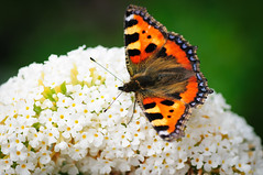 Butterfly (Thomas Poots) Tags: holland macro netherlands butterfly nikon nederland mm tamron 90mm 90 vlinder the aglais urticae d300s