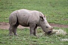 Baby rhino eating (Daves Portfolio) Tags: animal animals gardens cotswold wildlifepark 2013 cotswoldwildlifeparkandgardens