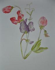 sweet peas (amanda.parker377) Tags: flowers red purple sweetpeas pasteldrawing