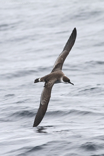 """Great Shearwater,  (3)Scilly Pelagic 110813 (J.Pender) • <a style=""""font-size:0.8em;"""" href=""""http://www.flickr.com/photos/30837261@N07/9731785230/"""" target=""""_blank"""">View on Flickr</a>"""