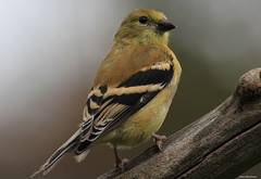 American Goldfinch (Diane Marshman) Tags: autumn black tree bird fall nature up birds yellow neck dead wings bars branch close body head pennsylvania wildlife goldfinch small north birding stripe feathers east belly pa american underneath throat striped northeastern
