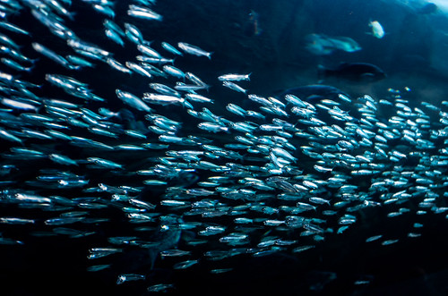 So Many Fish by djking, on Flickr