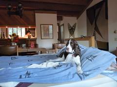 Boscoe in Bed P1080526 (rudisillart) Tags: lake dogs tahoe boscoe robynsbirthday